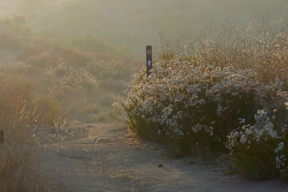 Buckwheat flowers line the trail and fill the evening air with the scent of honey on this National Park Service trail in the western Santa Monica Mountains National Recreation Area. Photo by Suzanne Guldimann