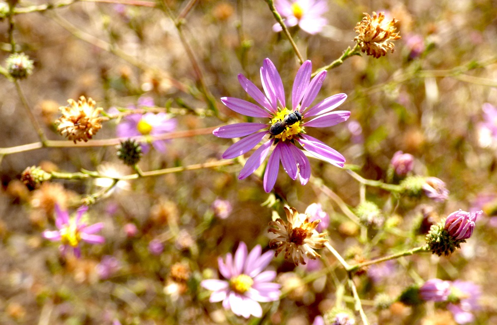 California aster blooms all summer, attracting native pollinators like this tiny wasp. Photo by Suzanne Guldimann