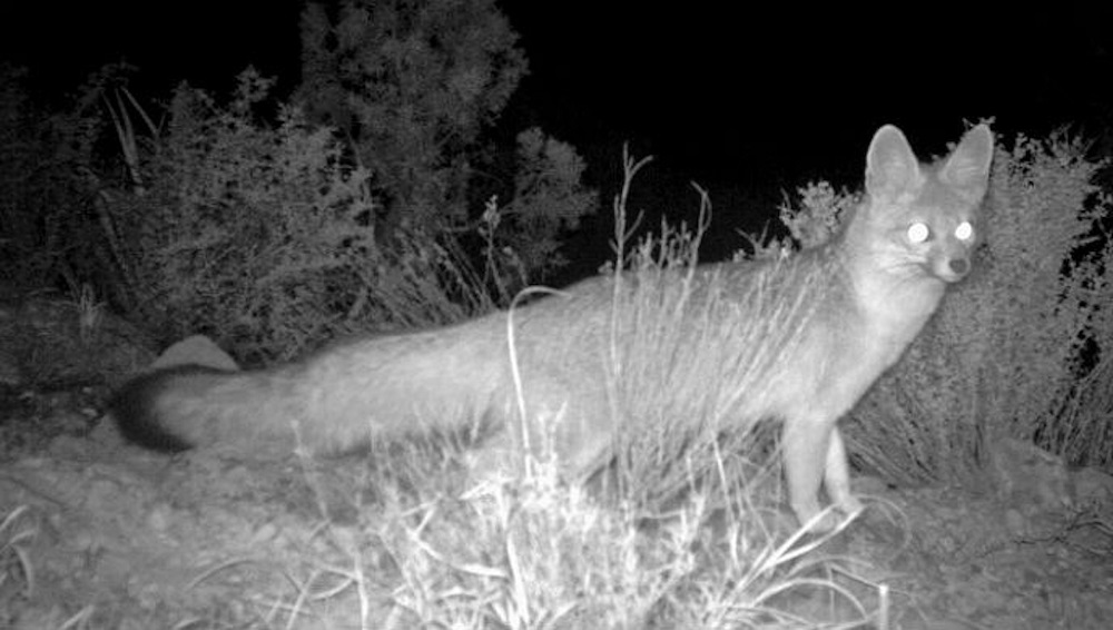 Trail cameras can reveal the hidden world of local wildlife. This gray fox was captured on an infrared NPS camera. Photo courtesy National Park Service