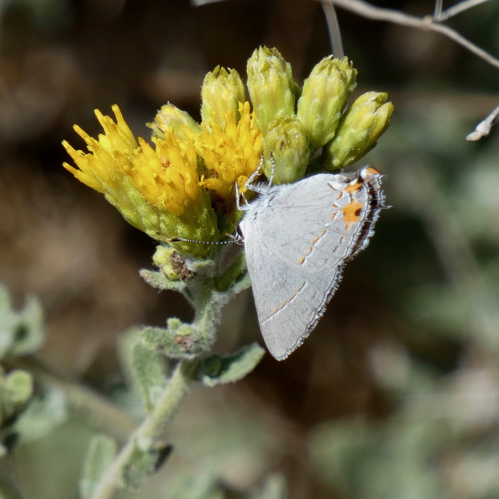 The gray hairstreak is a common summer butterfly in the Santa Monica Mountains, where it takes advantage of nectar in the yellow flowers of the sawtooth goldenbush, another common summer wildflower. Photo by Suzanne Guldimann