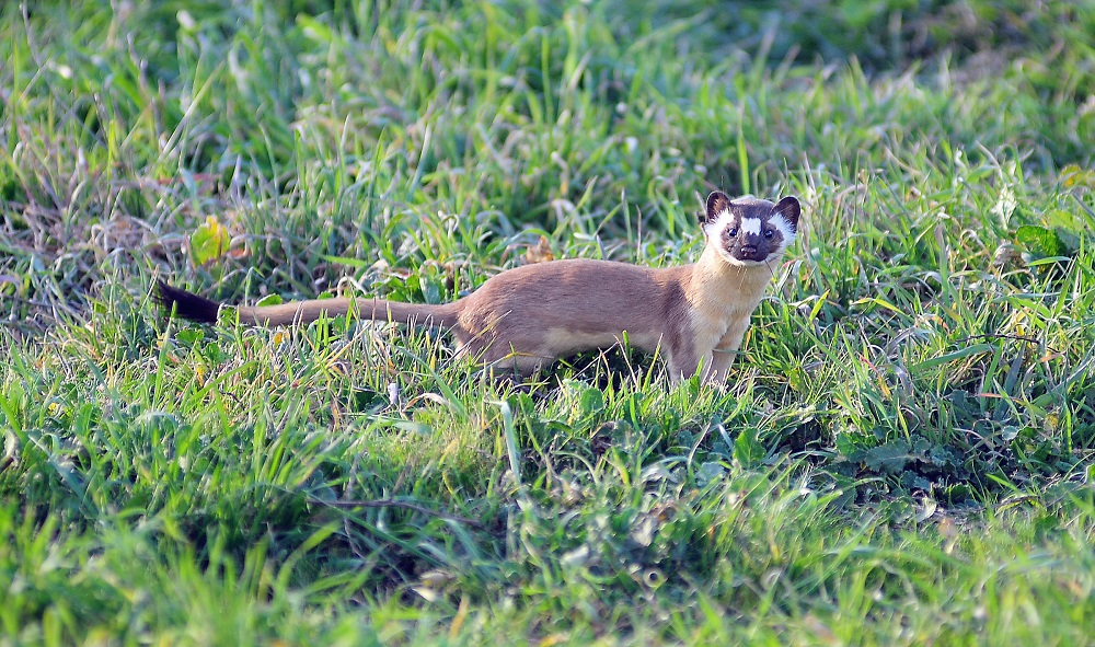Topanga New Times contributor Ann Dittmer photographed this long-tailed weasel at Malibu Creek State Park. This small but fierce predator was hunting for rodents in the meadow near the campground, not far from human activity, but mostly unobserved
