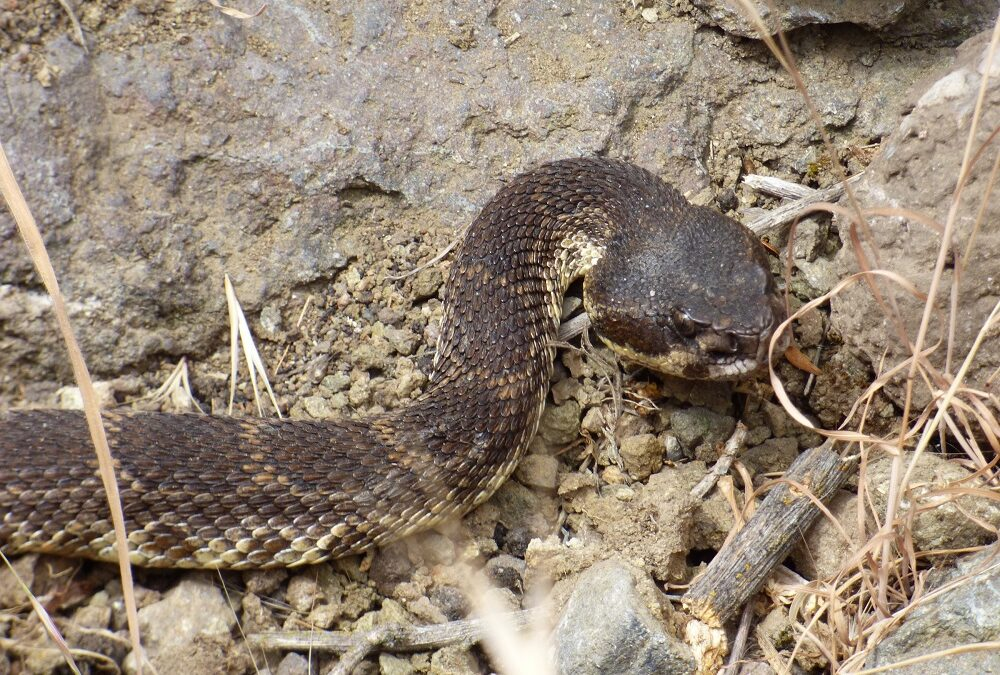 Surprising and Sometimes Scary, Snakes Are a Vital Part of Topanga's Ecology