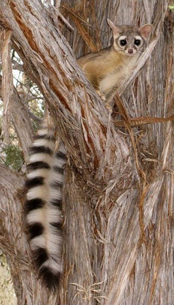 The ringtail is so rare and so secretive TNT's naturalist team has never seen a live one, let alone photographed one. This species can still be found in the Santa Monica Mountains, but this photo is from Zion National Park, courtesy of the NPS.