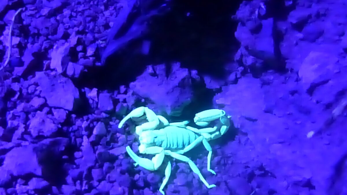 Scorpions Are an Unexpected Part of Life in Topanga