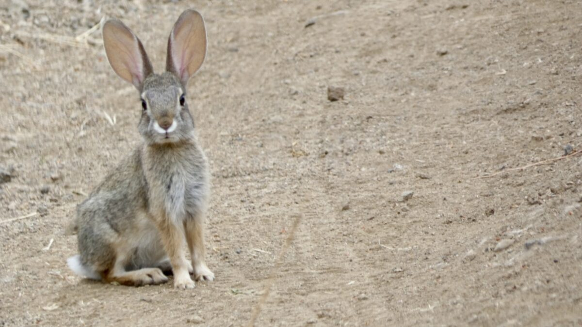 Meet the Neighbors: Topanga's Wild Rabbits