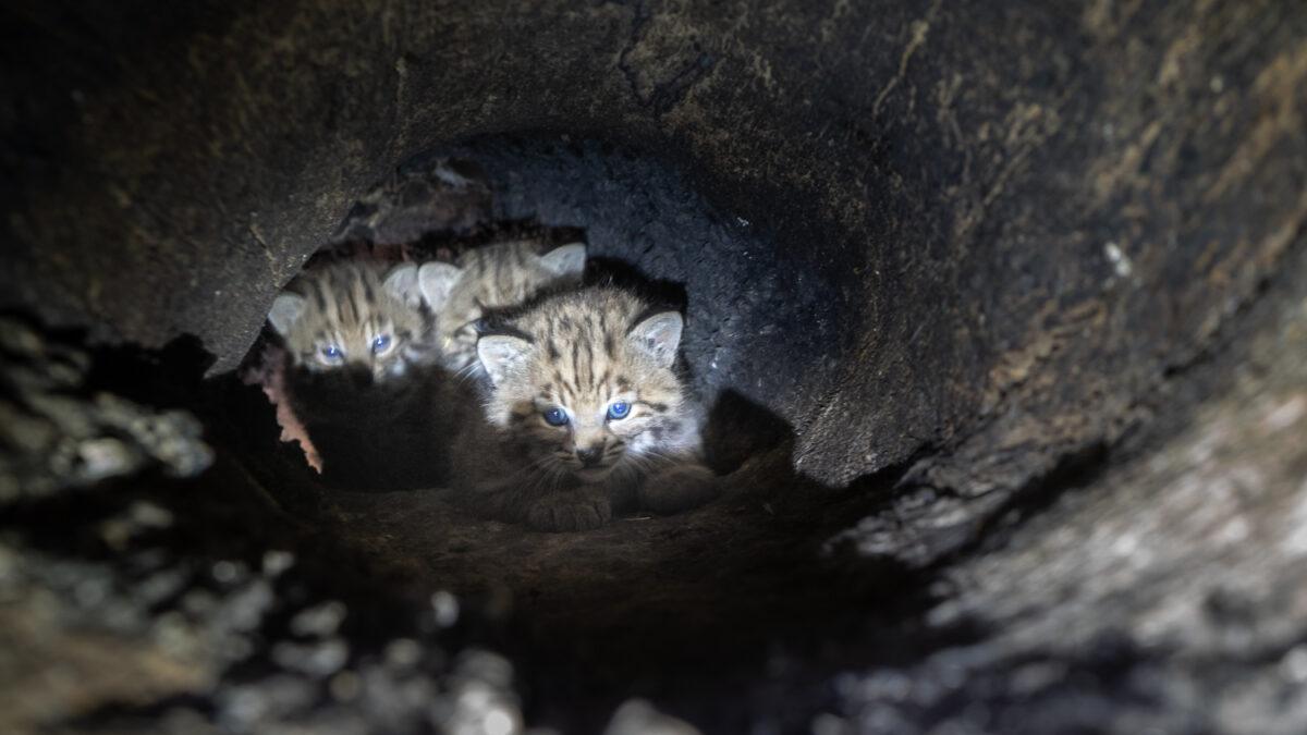 Bobcat Kittens Found in Oak Tree Cavity