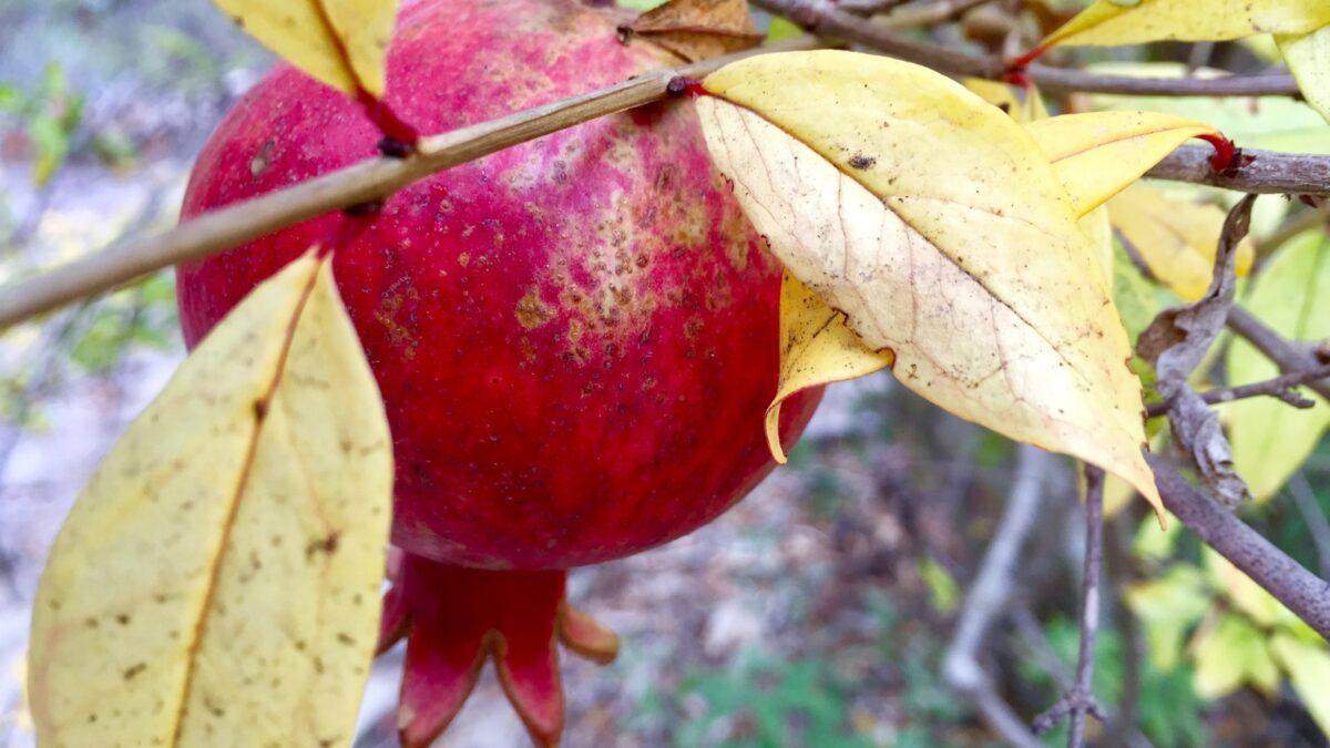 Pomegranate Season